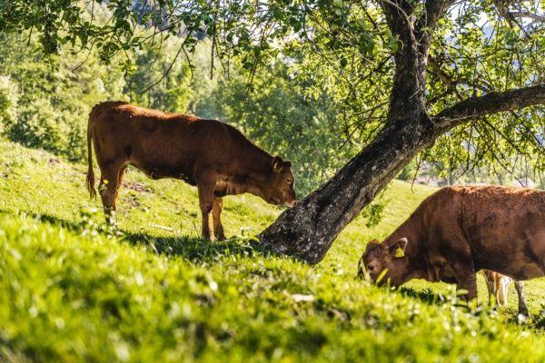 Die Schattberger – Bio-Jungrindfleisch aus dem Pinzgau